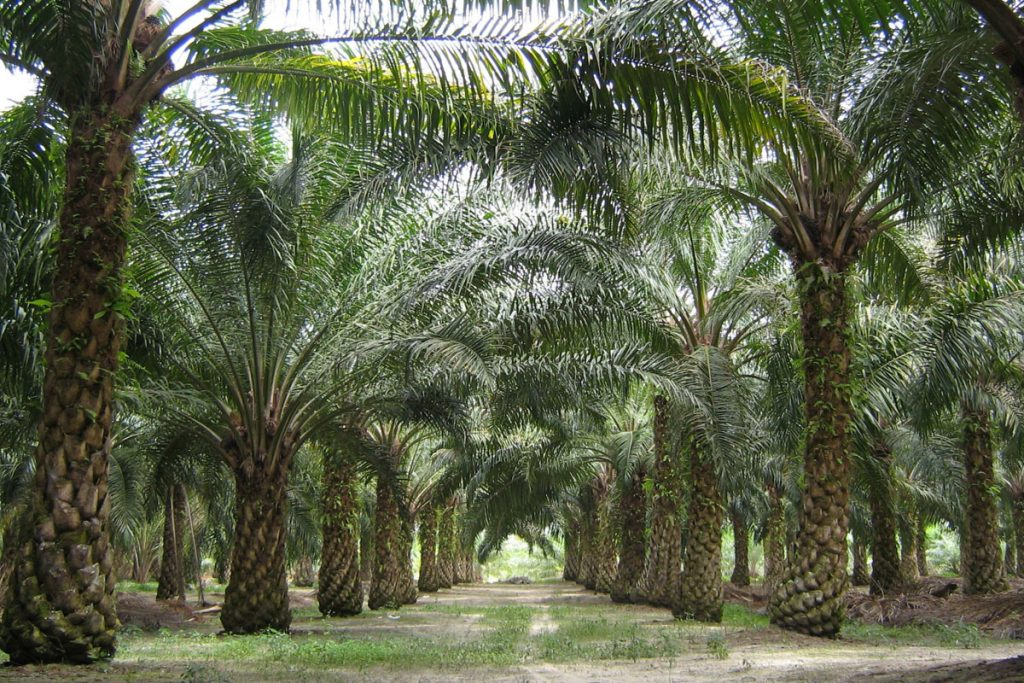 palm oil from the fruit of palm trees